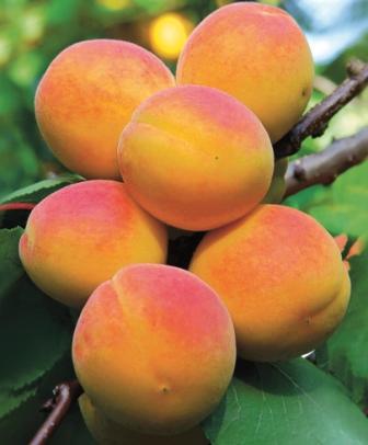 Заказать (купить) саженцы абрикоса: Горный Абакан-Краснощекий-Восторг (комплект)