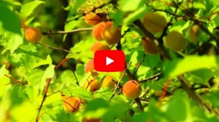 Купить саженцы абрикоса-Королевский-Академик-Восторг