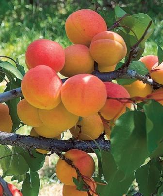 Купить саженцы абрикоса: Горный Абакан-Краснощекий-Восторг (комплект)